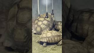 Секс больших черепах