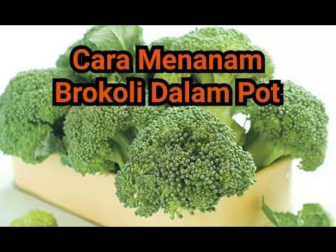 Video Cara Menanam Brokoli Dalam Pot