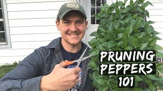 Pruning Peppers = Stronger Plants to Double & Triple Production