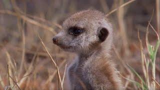 Snake-bitten Meerkat Returns Home | BBC Earth