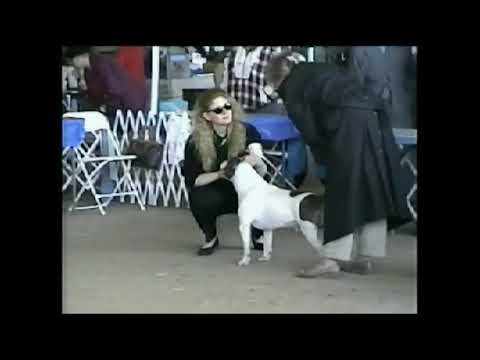 Best of Breed AmStaffs, Texas show March 1996