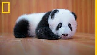 CUIDAR de ADORABLES BEBES Panda: Es complicado