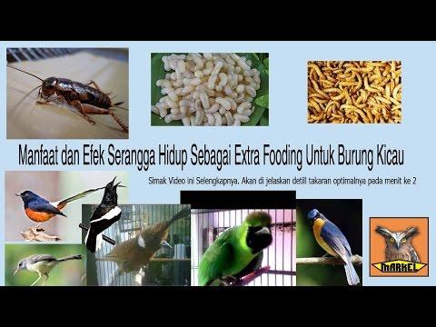 Video jangkrik vs kroto vs ulat hongkong untuk burung