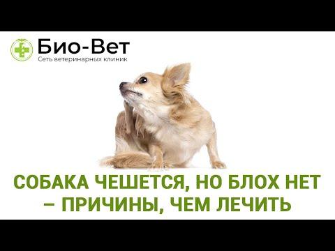 Собака чешется, но блох нет – причины, чем лечить // Сеть Ветклиник Био-Вет