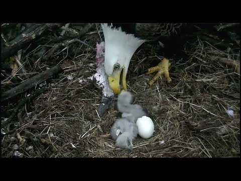 D.C. eagle hatches second baby