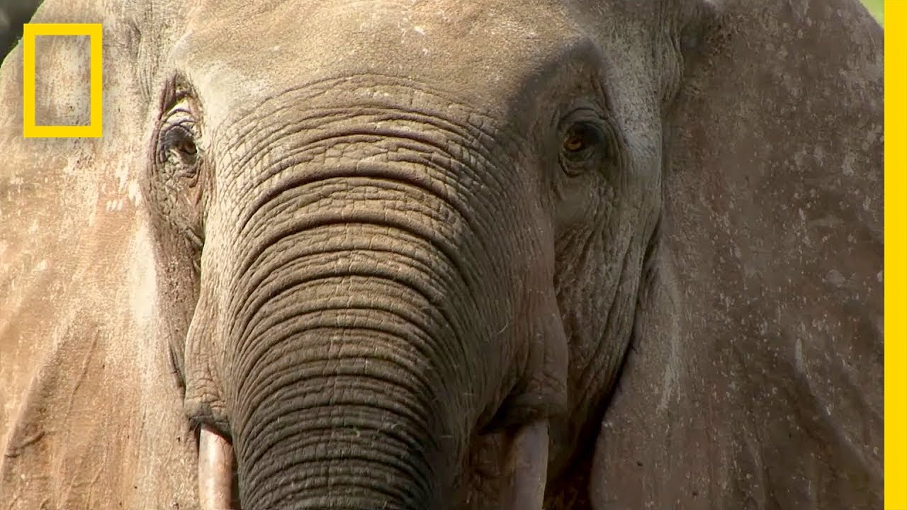 Elephant Poaching Forces This Community to Take Sides | National Geographic thumbnail
