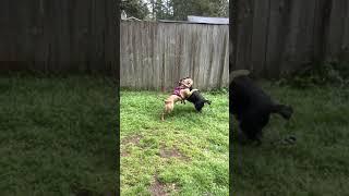 Austrailian Blue Heeler Puppies Videos