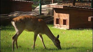 Реконструкція зоопарку: до нового помешкання заселилася олениця