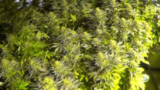 Day 55 flower quick update - Harvest day for the Purple Diesels! One last look...