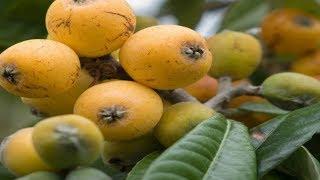 Diese Frucht ist gesund, reinigt die Nieren, beseitigt Harnsäure und reguliert den Arteriendruck!