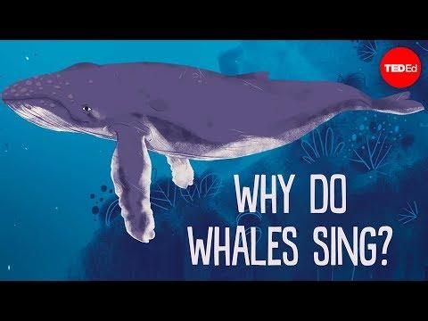 מהו פשרה של שירת הלווייתנים? - צפו בהסבר המרתק