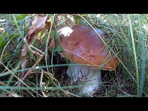 Осіннє тихе полювання, Білі гриби в Карпатах / Autumn quiet hunting, Ceps in the Carpathians