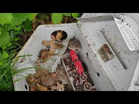 """Recently, I had serviced one of my commercial accounts, asenior living community in Allenwood, NJ, for a troublesome mouse infestation. With any rodent problem, we always return for follow-up visits so that we can re-inspect the premises, perform additional treatments, and replenish the bait in the bait stations as needed. The amount of bait consumed between service calls is a reliable indicator of the level of infestation. Our objective is to see a continual reduction in consumed bait between visits, eventually down to zero. The freshest bait is most effective and we always replace any bait that has been degraded by dirt, dust, moisture, is insect-ridden, or is just moldy and rancid. As I was inspecting the rodent bait stations placed along the exterior perimeter of the building, I came across one station that was currently occupied by a small mouse feeding on one of the bait blocks! I left this mouse alone to let the bait """"do its thing,"""" and continued to replenish the bait in the other stations placed around the building. We also periodically change the type of bait to a different type since different rodents are attracted to different bait formulations. This helps us handle the infestation as efficiently as possible.It was evident from this follow-up visit that significant headway was already made in eradicating these rodents. It won't take too much longer for this property to be rodent-free!"""