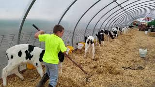 6 a.m. farm chores the farmer's son taking care of his cattle