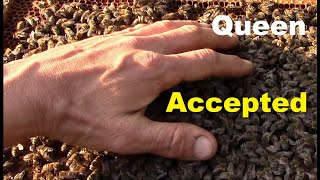 How bees behave when they accept the new queen bee. Releasing new queen