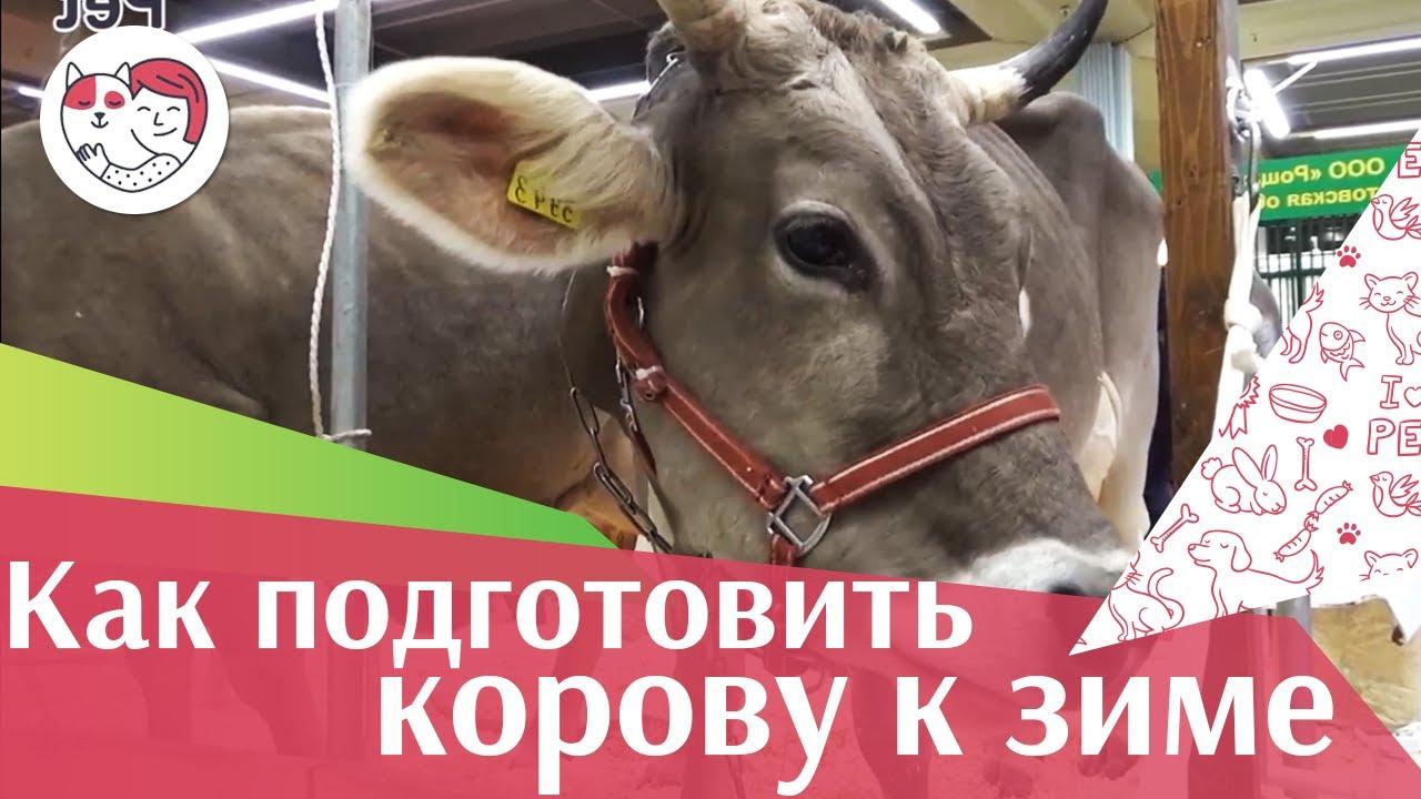 4 совета, как подготовить корову к зиме на ilikepet