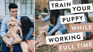 How to Train a Puppy While Working Full Time -  QUICK Training Mini Goldendoodle F1B