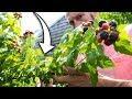 How to Prune Raspberries for BIGGER Harvests!