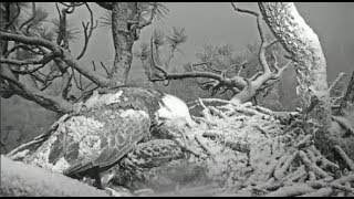 Big Bear Eagles ~ Cookie & Simba Wake Up Covered In Snow! ~ Shadow Brings In Two Fish! 5.19.19