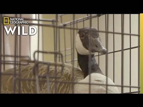 A Goose With a Broken Leg | Critter Fixers: Country Vets