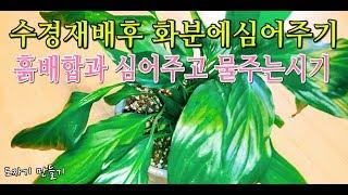 스파트필름 키우기(공기정화식물)Spray Film Air Purification Plants Hydroponic Cultivation 13 Months Later Planting