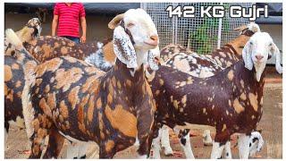 Top 50 Khassi Goats of JD Goat Farm Part 1   Gujri Bakre Upto 142 KG