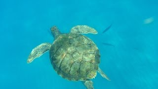 preview picture of video 'Bridgetown, Barbados Excursion: Swimming with Turtles on a Catamaran'