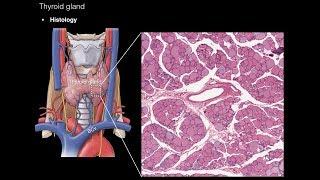 Thyroid and Parathyroid Glands