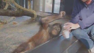 Орангутану показали фокус / Monkey Sees A Magic