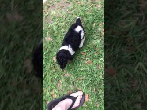 Playful parti pup follows path home