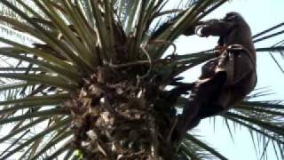 preview picture of video 'Trimming date palms in Khairpur'