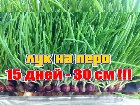 Лук на перо за 15 дней.(Самый лучший способ выращивания лука на перо).