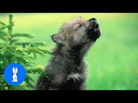 Baby Wolf Pups Howling - CUTEST Compilation