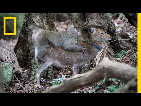 Monkey Tries to Mate With Deer (Rare Interspecies Behavior) | National Geographic