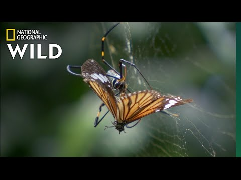 The Toxic Tiger Butterfly | Wild Monsoon