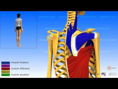 Les muscles de linspiration et linspiration