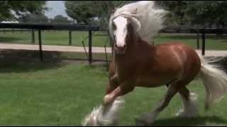 Chewbacca: Gypsy Vanner Horses for Sale | Colt | Silver Bay