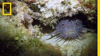 Grumpy Toadfish Sing Strange Love Songs | National Geographic