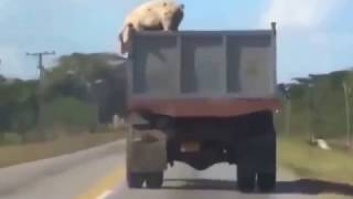 Побег свиньи прямо из грузовика  Такого вы точно не видели  Pig jump from truck