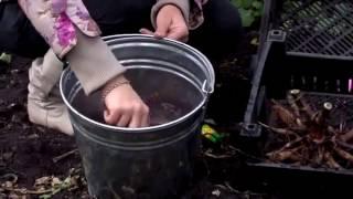 Как правильно выкапывать и хранить георгины видео