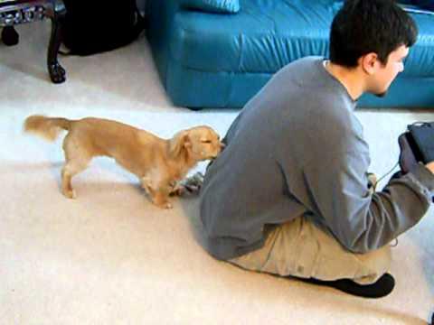 狗狗在主人玩電腦時在背後狂抓!太可愛了吧!