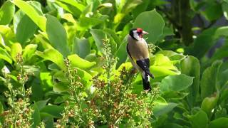31.05.2020 Stieglitz Goldfinch