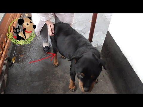 Асцит (водянка) у собаки, основные признаки и причины