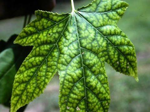 Растения #1: Определение нехватки элементов питания по листьям растения