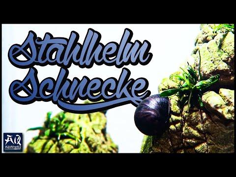 DIE STAHLHELMSCHNECKE | Neritina pulligera | Die beste Schnecke gegen Algen? | AquaOwner