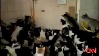 Смотреть онлайн Как коты радуются хозяйке с кормом