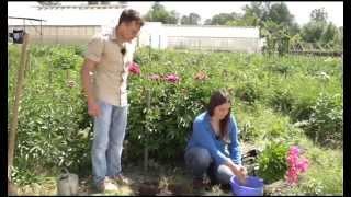 Смотреть онлайн Выращивание травянистого пиона в открытом грунте