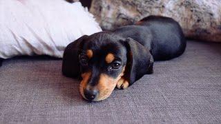 Meet My 8 Week Old Miniature Dachshund