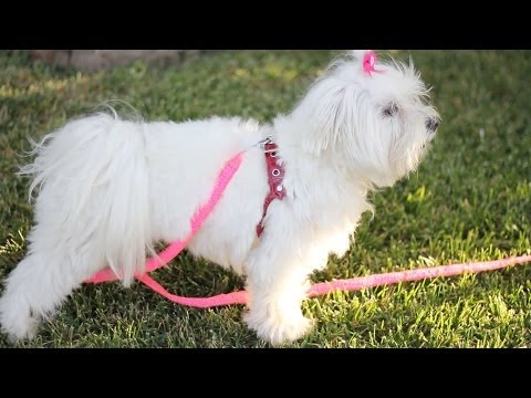 Basics about collar vs harness for Maltese (any small breed) dogs