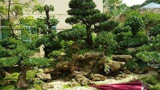 SH.468.Sốc Với Giá 400triệu Một đồi Tùng La Hán Và Báo Giá Nhiều Cây đẹp Thương Mại Tại Triển Lãm TN